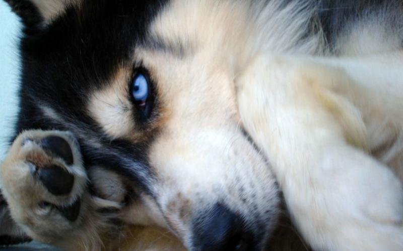HD Siberian Husky Wallpaper  Download Free  105666