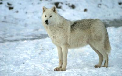 Anime Female White Arctic Wolf Snow Wolf 1