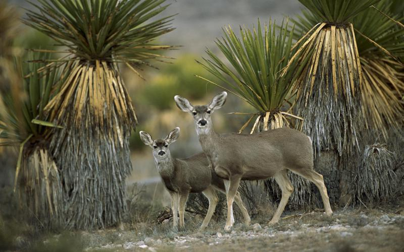 3d Wallpaper Clouds Hd Mule Deer Amid Yucca Chihuahuan Desert Mexico