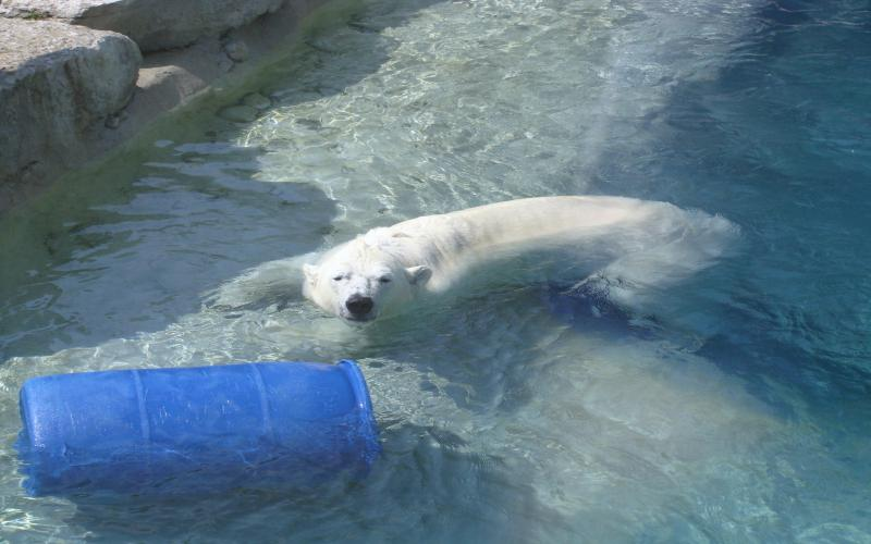 3d Bollywood Wallpaper Free Download Hd Polar Bear Relaxing In The Ice Cold Water Wallpaper