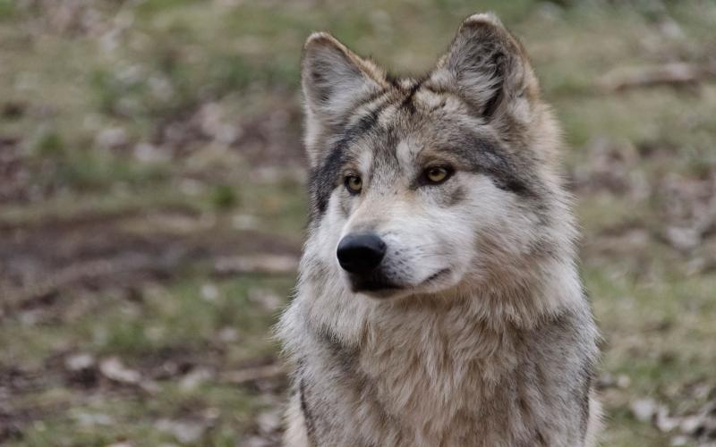 Cute Happy Faces Wallpaper Hd Sitting Wolf Wallpaper Download Free 114253