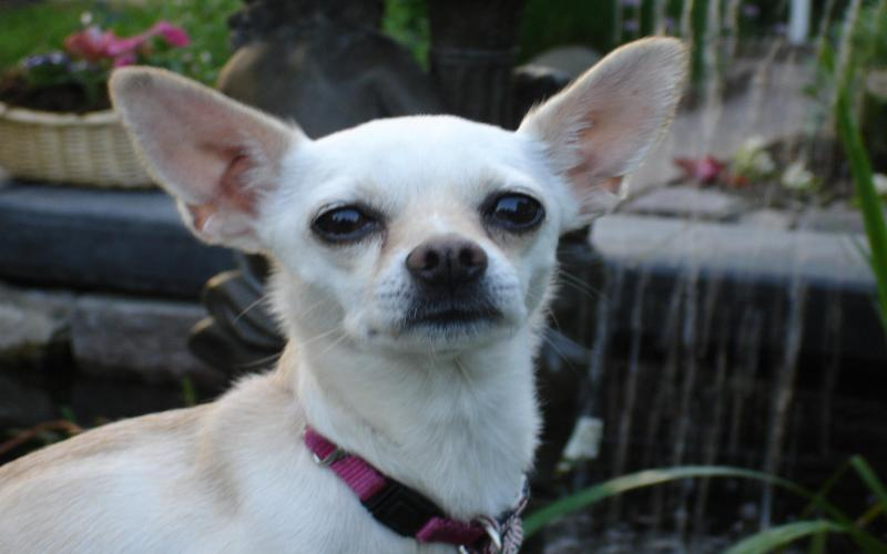 Cute Cartoon Easter Wallpaper Hd The Cute Chihuahua Wallpaper Download Free 121866