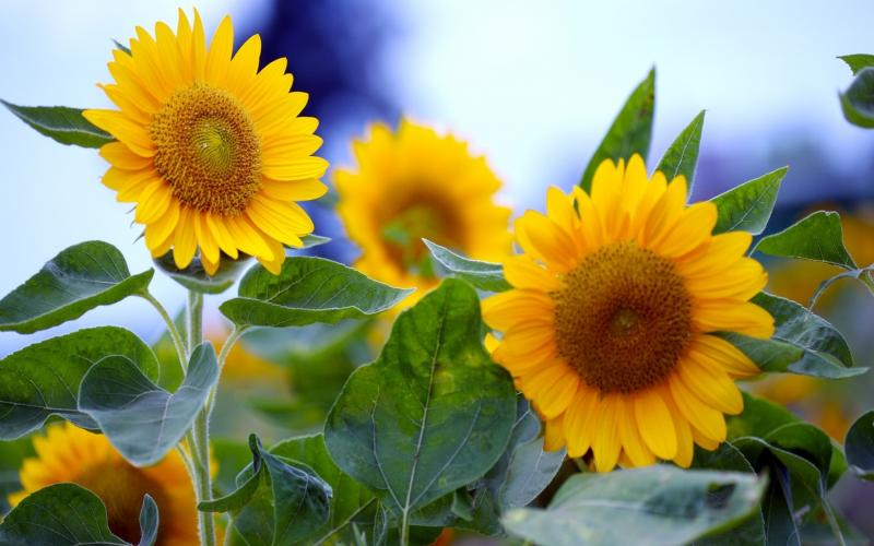 Cute Girly Live Wallpapers For Android Hd Pretty Sunflowers Wallpaper Download Free 55392
