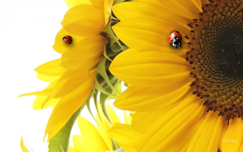 Cute Baby Blue Wallpaper Hd Sunflower Ladybug Fun Wallpaper Download Free 59974