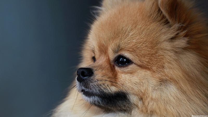 Cute Pomeranian Wallpaper Hd Pomeranian Puppies Backgrounds Wallpaper Download