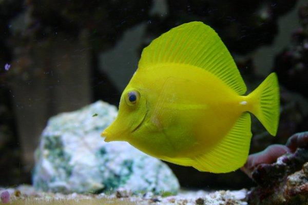Free Yellow Tang Stock