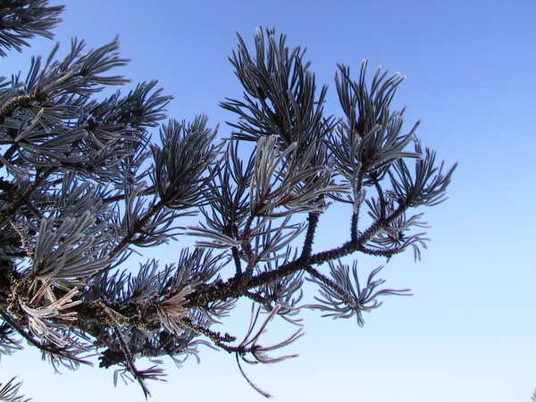 Free Pine Bough Stock