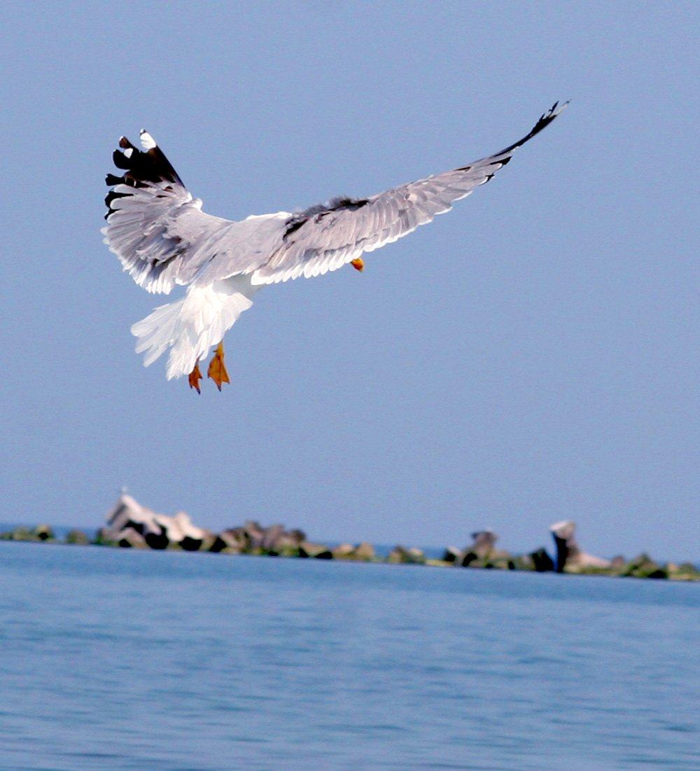 Gull del mar