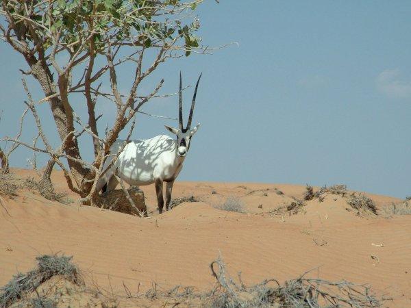 Free Arabian Oryx Stock