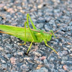 Grasshopper Insect Diagram Lenel 1320 Wiring 1 Photograph 1335485 Freeimages