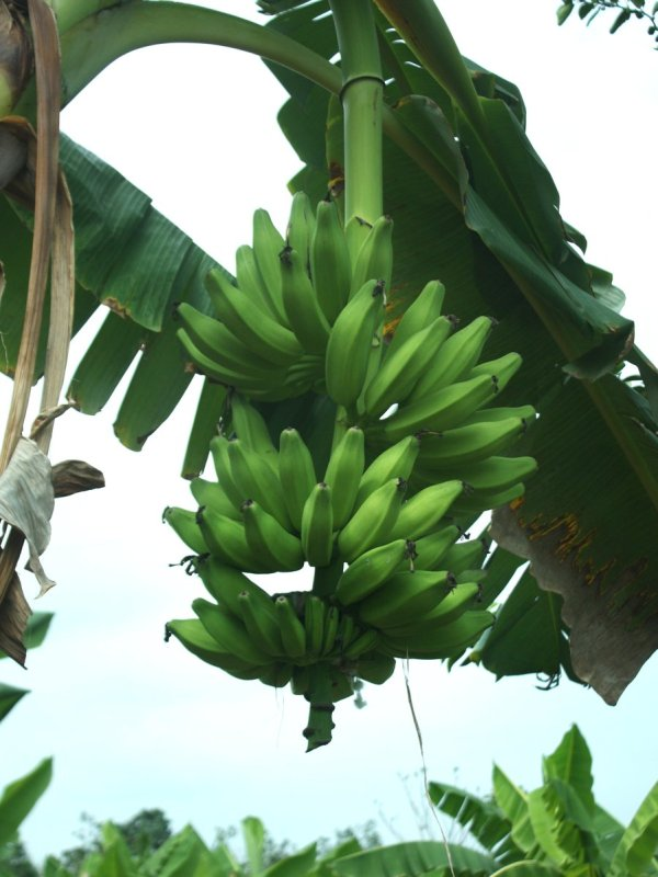 Free Banana Cluster Stock