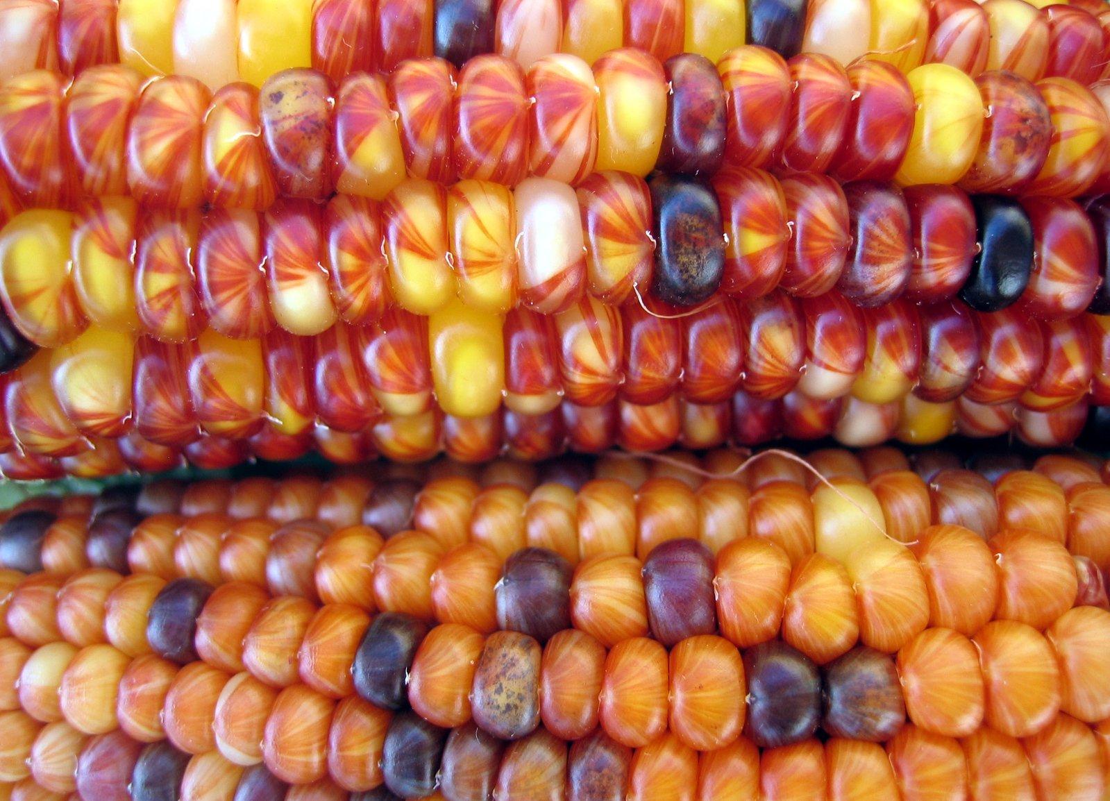 Free Harvest Corn Stock Photo