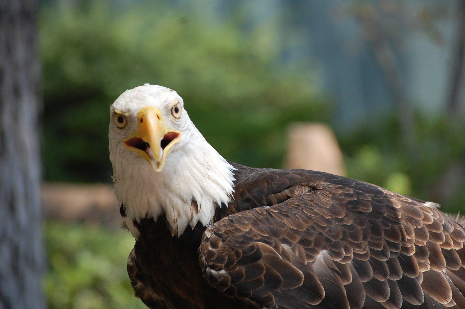 Free Bald Eagle Stock Photo