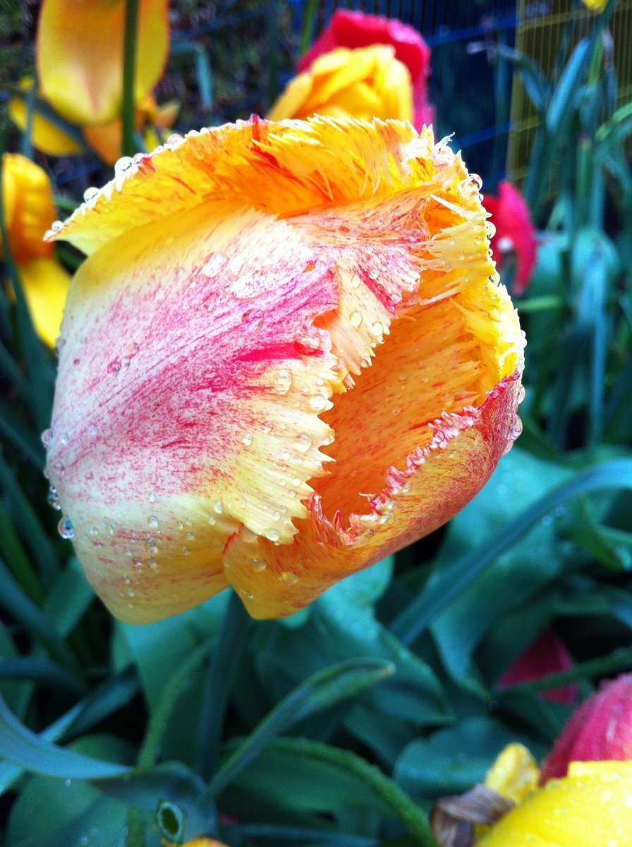 Free Yellow tulip flower with raindrops Stock Photo - FreeImages.com