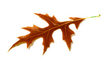 Image result for fall leaf on white background