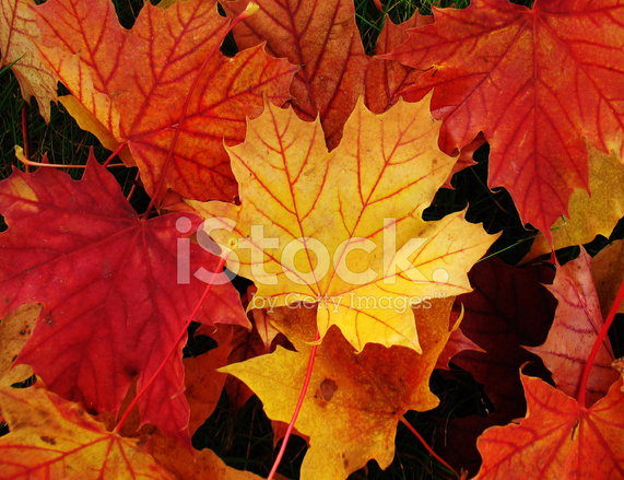 Maple Leaves IN Autumn Colours Stock Photos