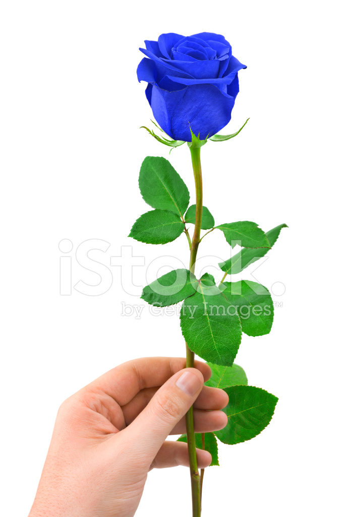 Blue Rose IN Hand Stock Photos