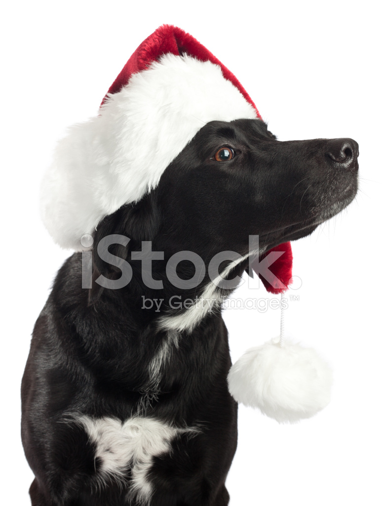 Black Dog Showing Off Christmas Hat Stock Photos