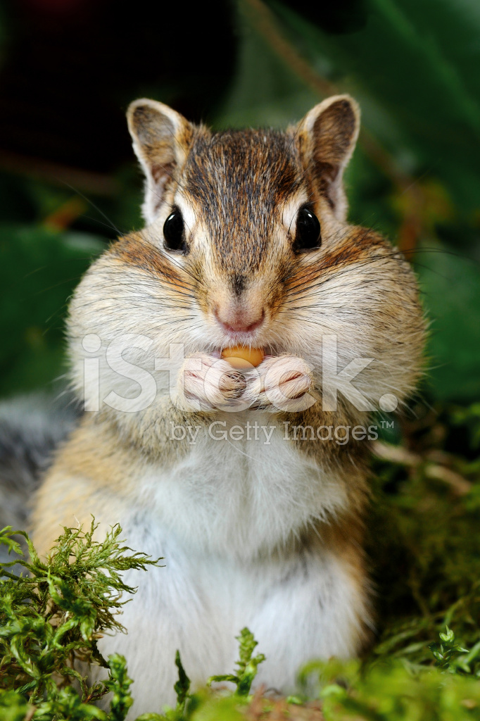 chipmunk in forest stock