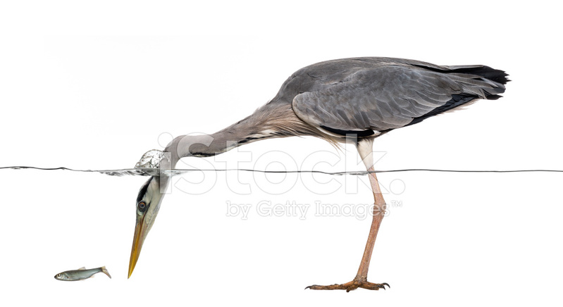 Side View of A Grey Heron Fishing, Head Under Water Stock