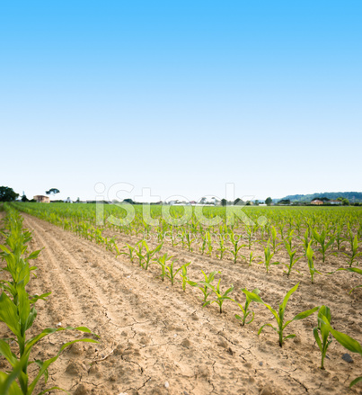 cultivated corn field landscape
