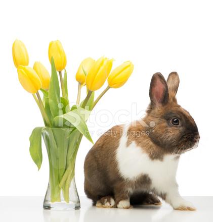 棕兔是附近與黃色郁金香花瓶 照片素材 - FreeImages.com