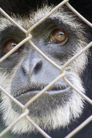 Free Sad face Monkey Stock Photo FreeImagescom