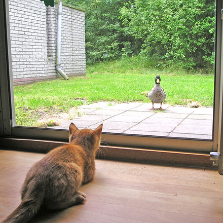 Cat Vs Duck I, Free Photo Files, #1496231  Freeimagescom
