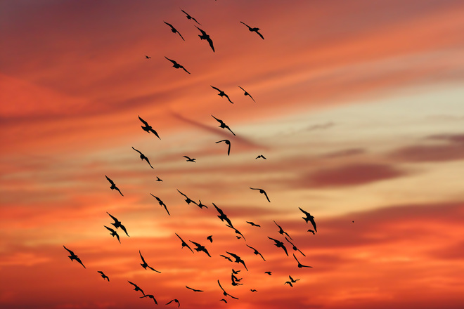 Free flock of Birds against sunset Stock Photo  FreeImagescom