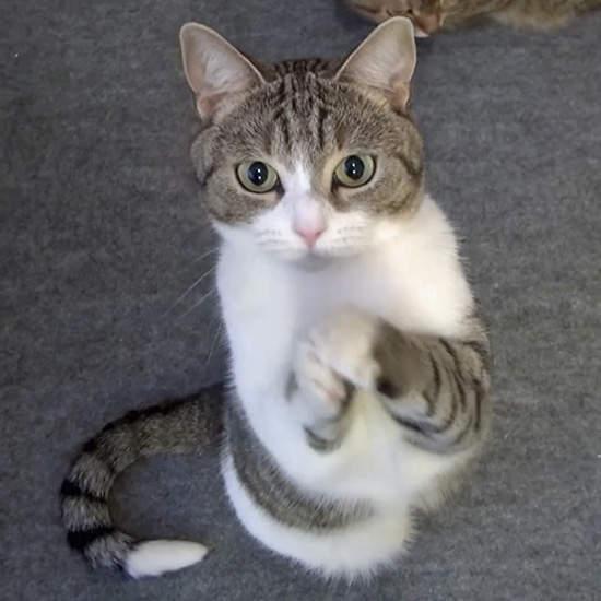 《會拜託的貓》想吃也不要用那種眼神看我~我不行了~   宅宅新聞