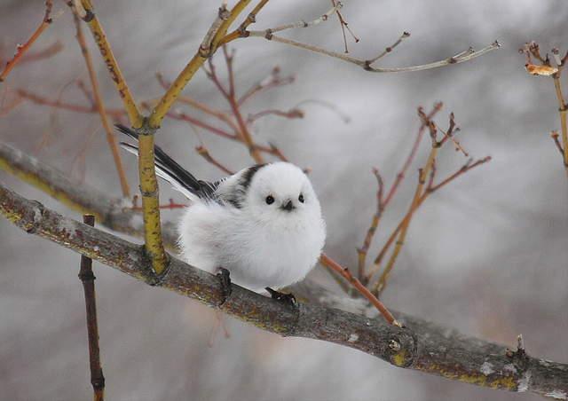 雪之妖精《銀喉長尾山雀》圓滾滾的模樣怎麼看都好療癒