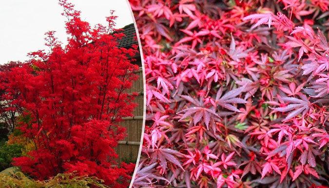 Large Acer Japanese Maple Tree