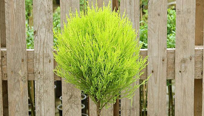 2 Lemon-Scented Evergreen Topiary Trees