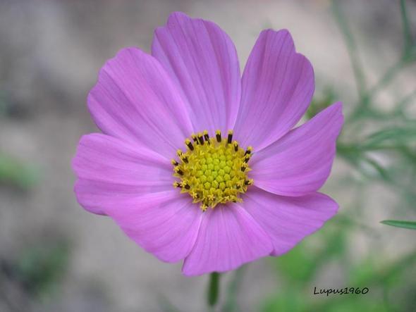 Gartenblumen Welche blt am lngsten Garten Blumen
