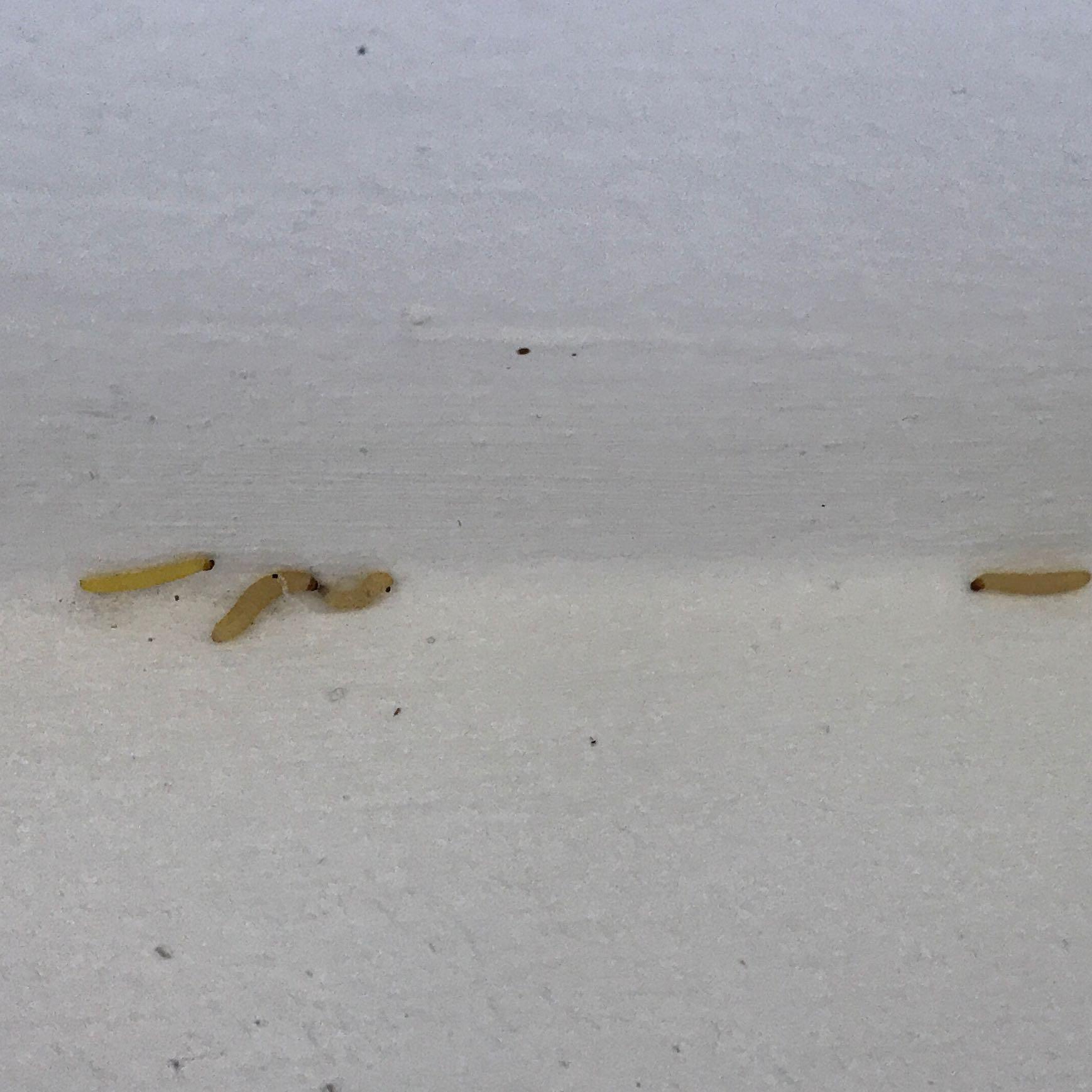 Würmer Larven In Der Küche  Braune Larven In Der Wohnung. Braune