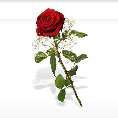 Kosten einer Rose Freizeit Blumen Rosen