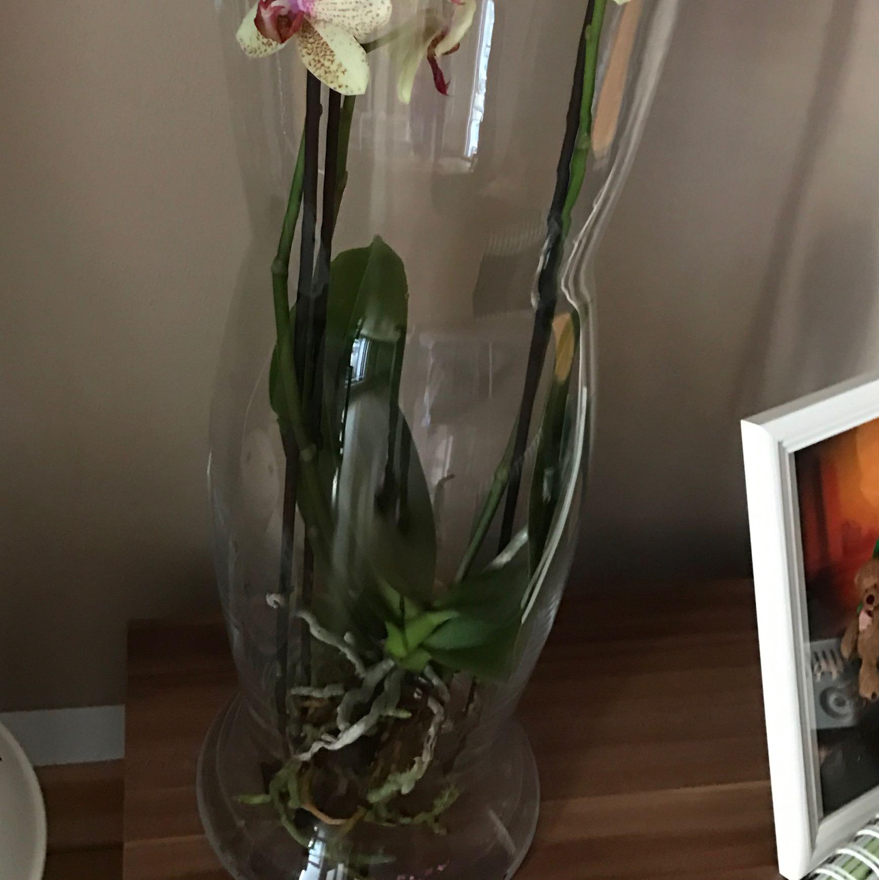 Orchidee im Glas wie und vor allem wie oft dngen