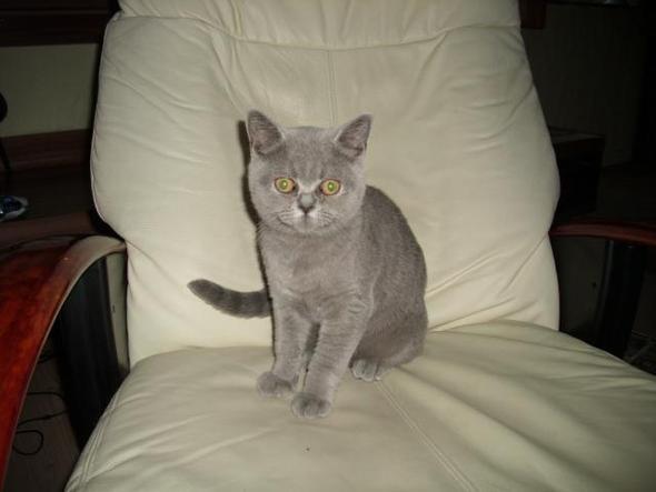 Unsere Bkh Katze Ist Mit 4 Monaten Schon Rollig Tiere