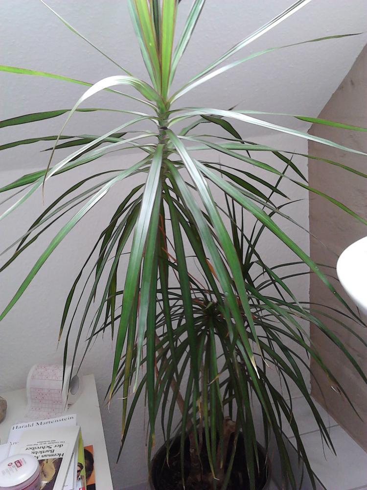 Wieviel Wasser braucht diese Palme Pflanzen Blumen Botanik