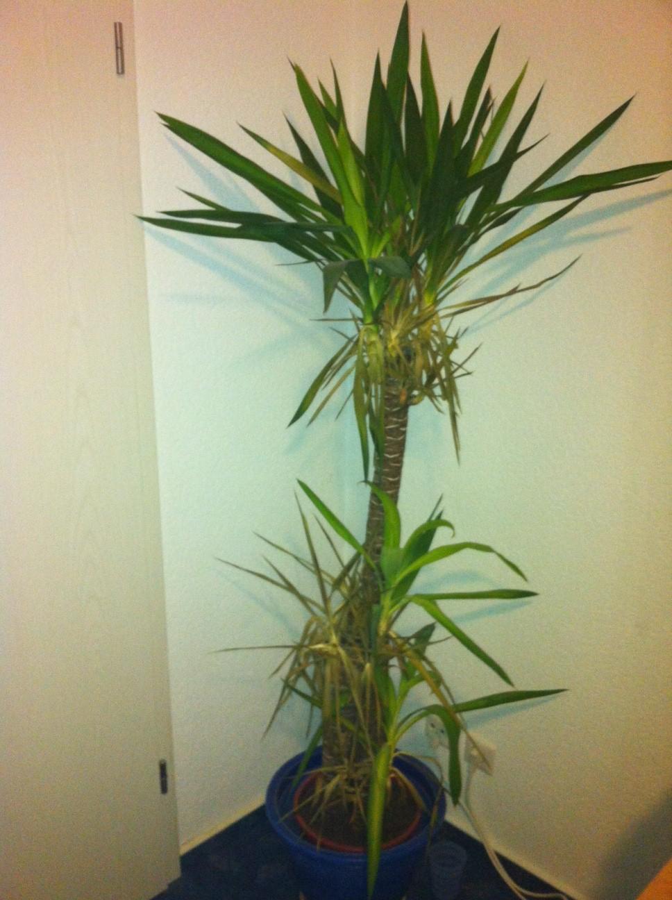 Yucca Palme Hilfe Pflanzen Pflanzenpflege