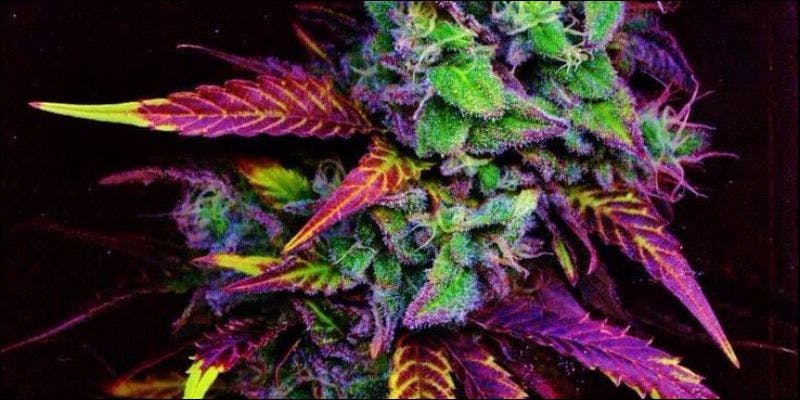 Red Green and Purple1 New York Is FINALLY Expanding Their Strict Medical Cannabis Laws
