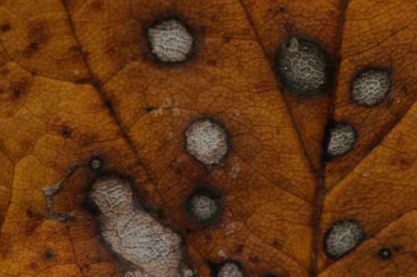 Powdery Mildew Root Rot Leaf Spot Diagnosing Cannabis Diseases Powdery Mildew, Root Rot, Leaf Spot: Diagnosing Cannabis Diseases