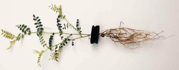 Powdery Mildew Root Rot Leaf Spot Diagnosing Cannabis Diseases2 Powdery Mildew, Root Rot, Leaf Spot: Diagnosing Cannabis Diseases