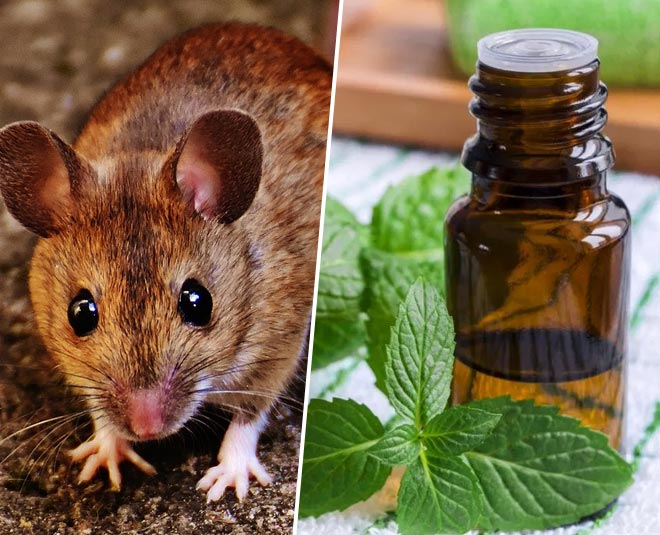 How Does Peppermint Oil Keep Mice Rats Away? How To Use ...