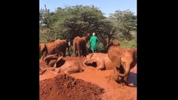 The image shows baby elephants playing in the mud.