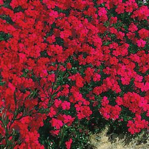 Spring Hill Nurseries Red Creeping Phlox Live Bareroot