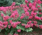 pink flowering shrubs