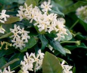 fragrant jasmine plants