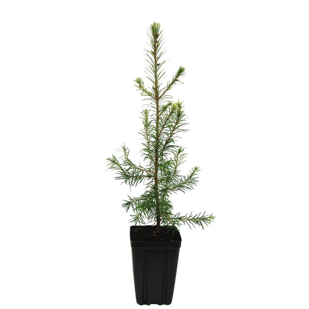 kitchen faucets on sale home depot outside island evergreen nursery douglasfir potted tree ...