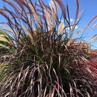 1 Gal. Rubrum Purple Fountain (Pennisetum)Grass, Live ...